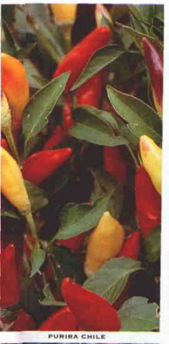 Purira hot pepper seeds