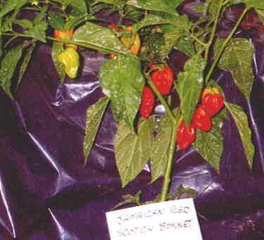 Red Habanero hot pepper seeds
