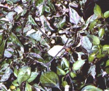 Veriagata decorative hot pepper seeds