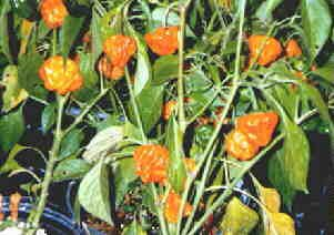 YELLOW SQUASH FLYING SAUCER HOT PEPPER Seeds