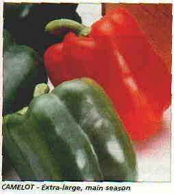 X3R CAMELOT SWEET BELL PEPPER Seeds