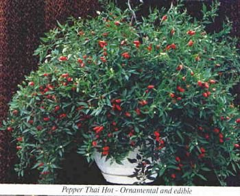 THAI PARKS HOT PEPPER seeds, PEQUIN TYPE