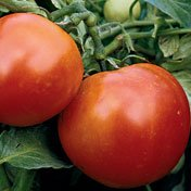 Burbank, heirloom tomato seeds