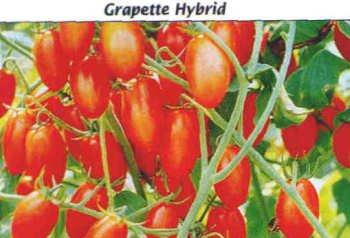 Grapette tomato seeds, grape type