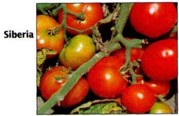 Siberian early tomato seeds