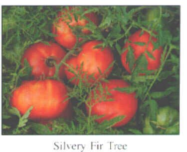 Silvery Fir Tree tomato seeds