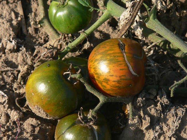 Black and Brown Boar great tasting bi-color tomato seeds