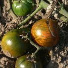 Black and Brown Boar great tasting bi-color tomato seeds