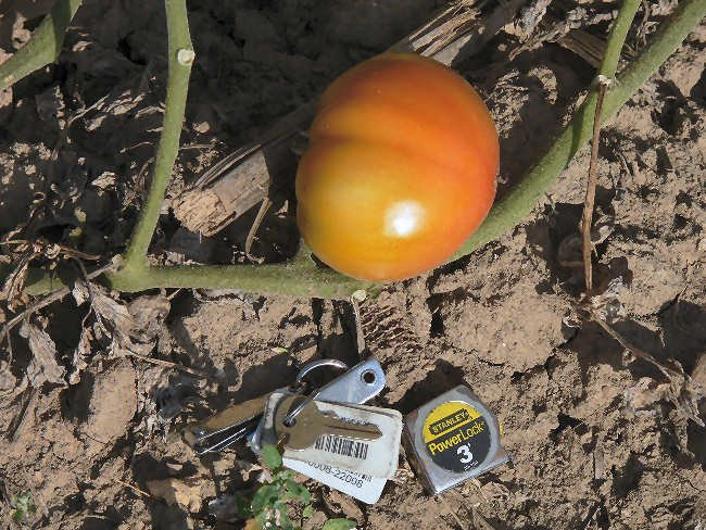 Earl's Faux rare heirloom beefsteak  tomato seeds