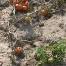 Early Rouge heirloom  tomato seeds