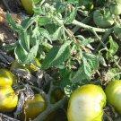Grub's Mystery Green rare beefsteak tomato seeds