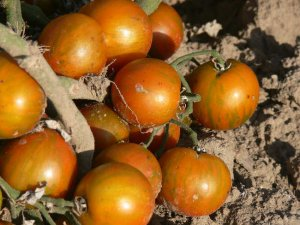 Guernsey Island cherry tomato seeds