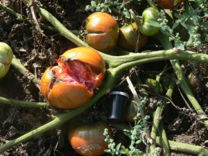 JD's Special C-Tex rare beefsteak tomato seeds
