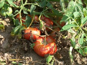 Lithuanian  heirloom pink beefsteak tomato seeds