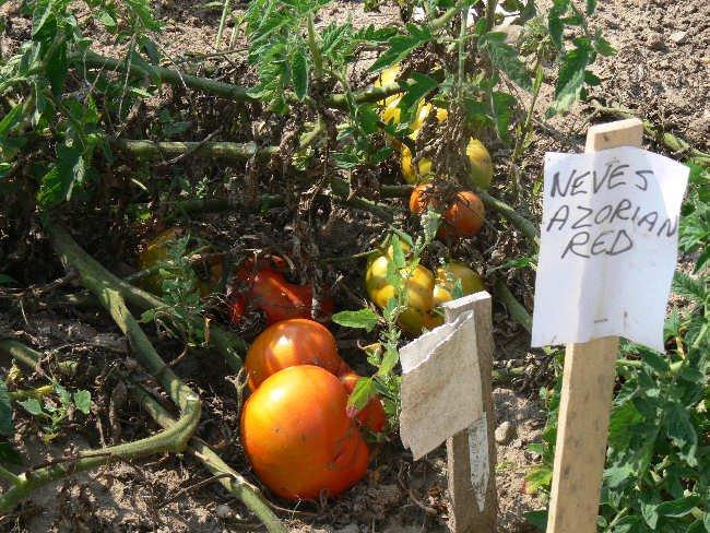 Neves Azorean Red heirloom beefsteak tomato seeds