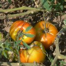 Orange Russian 117 heirloom bi-color oxheart  tomato seeds