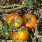 Orange Russian 117 heirloom bi-color oxheart  tomato seeds
