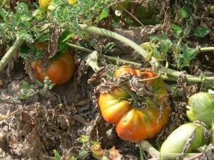 Palmira's Northern Italian heirloom beefsteak tomato seeds