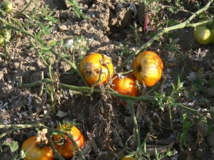 Reif Red Heart heirloom oxheart  tomato seeds