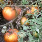 Vera's Seed heirloom oxheart tomato seeds