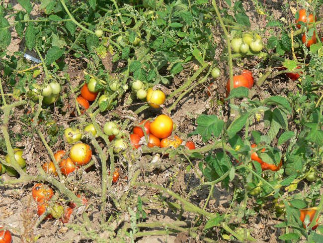 Russian Apple Tree Heirloom Tomato Seeds