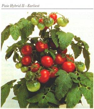 Pixie dwarf plant tomato seeds