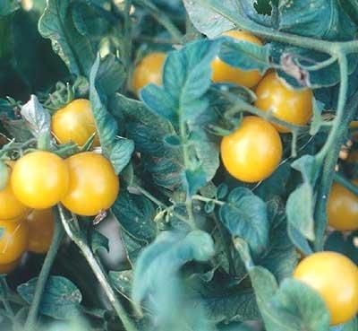 Galinas yellow cherry tomato seeds