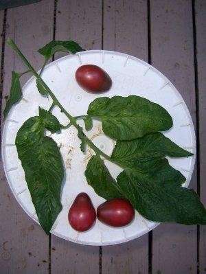 Evan's Purple Pear small dark tomato seeds