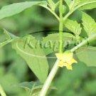 El Rey Tomatillo tomato seeds