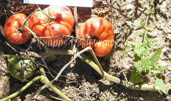Eagle's Beak heirloom oxheart  tomato seeds