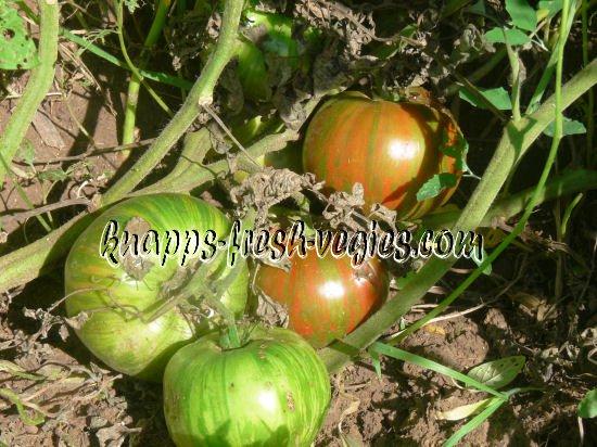 Harvard Square heirloom  tomato seeds