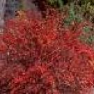 2 Beautiful Red Barberry Bushes/Trees!!