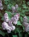 2 Purple Lillac Bushes!! (Live Trees-- Ready to Plant)