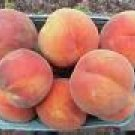 One Beautiful Red Haven Peach Tree~