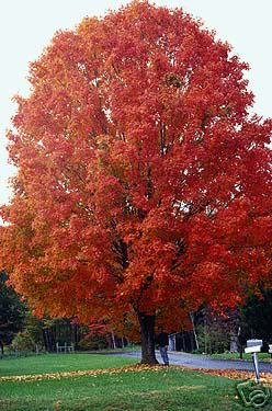 Two Beautiful Sugar Maple Trees!! L@@K!