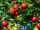 One Beautiful Red Delicious Apple Tree!!