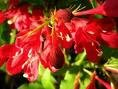 Lot of TWO Red Weigelia Trees!! (Live Trees) !