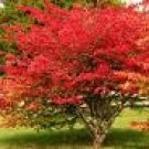 Two Beautiful Burning Bush Shrubs/Trees!