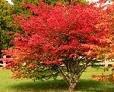 Two Beautiful Burning Bush Shrubs/Trees!
