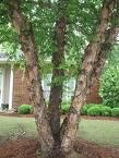 2 Beautiful River Birch Trees! (Live Trees-- Ready to Plant)