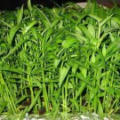 Water spinach seeds pack for home garden from sri lanka ceylon products bonsai plants