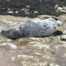 Arctic Grey Seal A4 Full Colour Print Can Be Framed