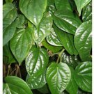 10 leaves packet Dried Piper Betel whole leaves organic Herbal pure 100%