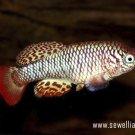 30 eggs of Nothobranchius boklundi «Luangwa Valley ZAM 2009-02»