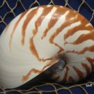 "Whole Natural Chambered Nautilus 6"" - Collector / Display / Beach Décor Seashell"