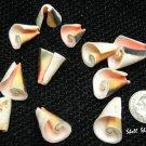 15 Lily Flower Cut Strawberry Strombus Seashells - Craft Shells / Shellcraft - FREE ship!