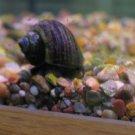 30 Pond Snails (Trapdoor Snails)