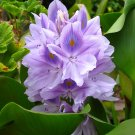 10 Water Hyacinths (pond plants)