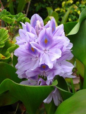 10 Water Hyacinths (pond plants)