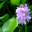 100 Water Hyacinths (Pond Plants)